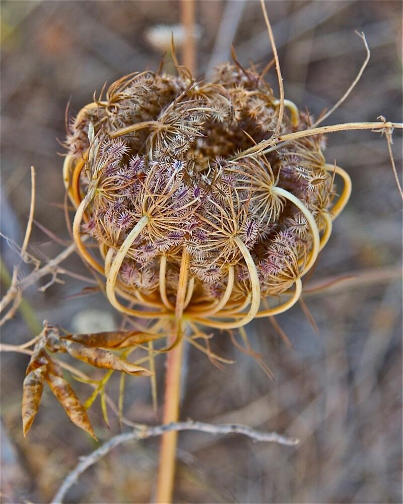 Seed Head by John Thurgood