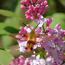 Clearwing Hummingbird Moth by Todd Weeks
