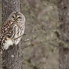 Barred Owl by Todd Weeks