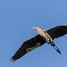 Great Blue Heron 2017-6 by Thomas Young