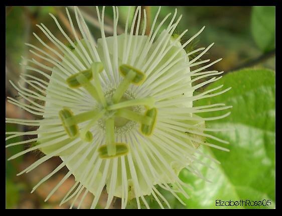 Spikey Flower by elizabethrose05