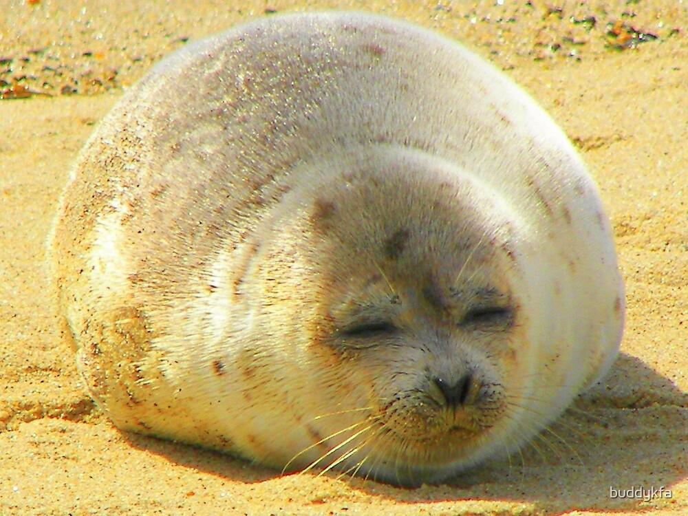 Seal Closeup on Cape Cod by buddykfa