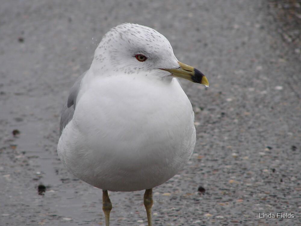 Seagull by Linda Fields