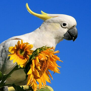 Sulphur Crested Cockatoo and Sunflowers by lance