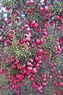 Mountain Pinkberry by Graeme  Hyde
