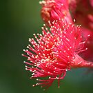 Red Flowering Gum by Aakheperure