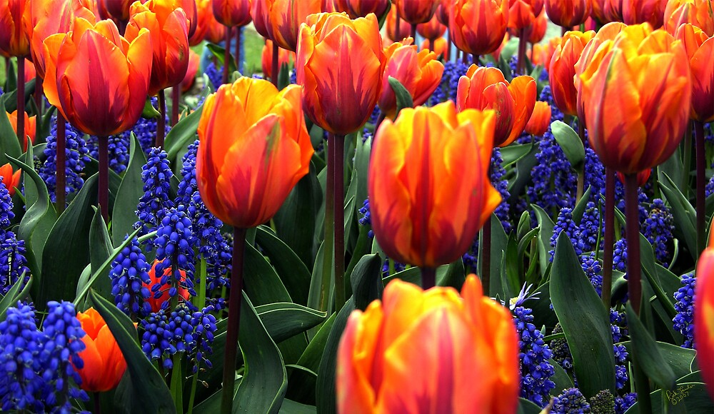 Orange and Blue Tulips by Rick Lawler