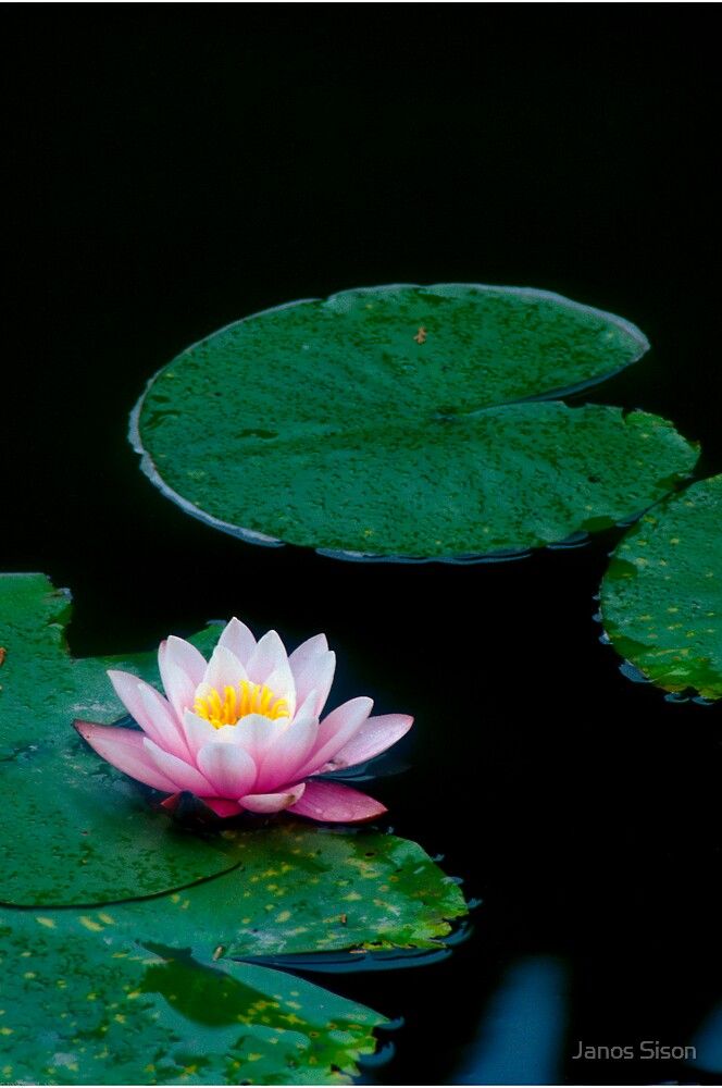 Waterlily #2 by Janos Sison