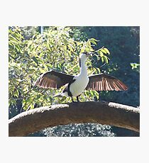 NZ Pied Shag- wings spread Photographic Print