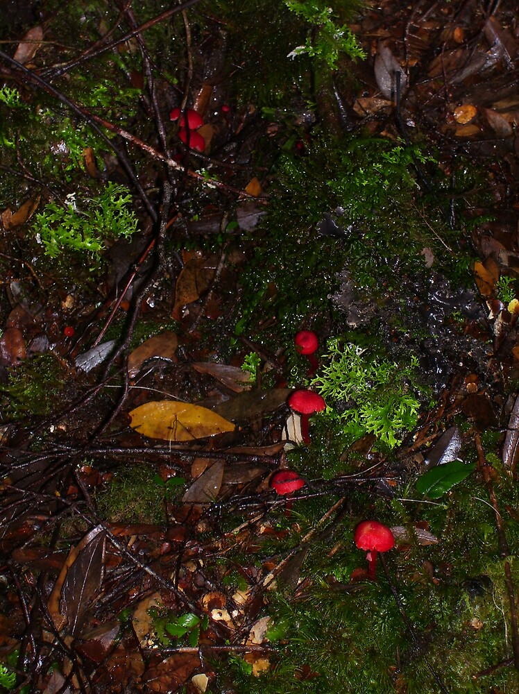 lovely tiny red fungi in the bush floor -  at Waratah by gaylene