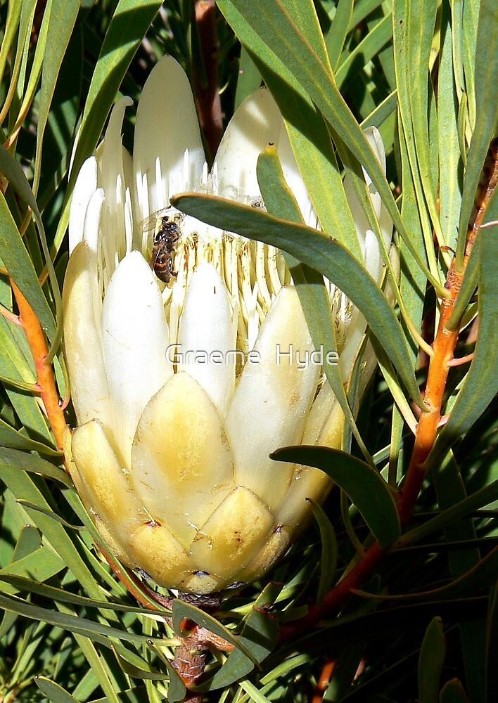 White Protea by Graeme  Hyde