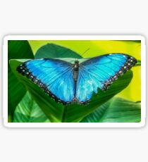 Blue morpho butterfly perched on a leaf Sticker