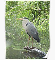 Majestic Heron Poster