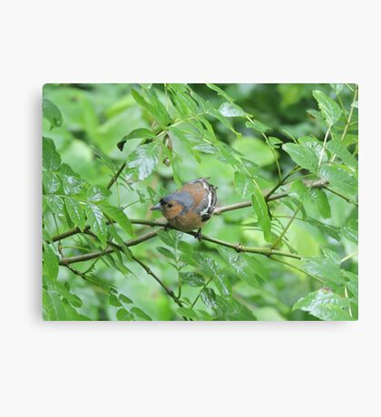 Bouncing Branch Chaffinch Canvas Print