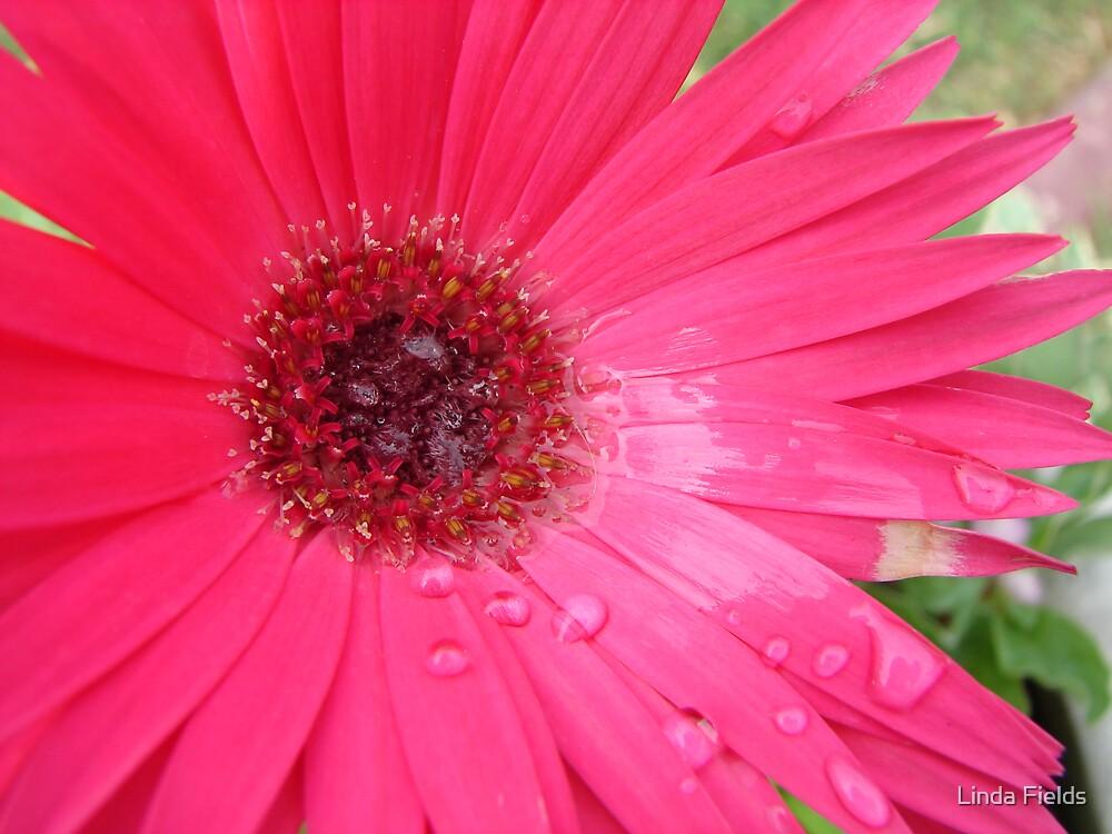Pink Gerbera Daisy by Linda Fields
