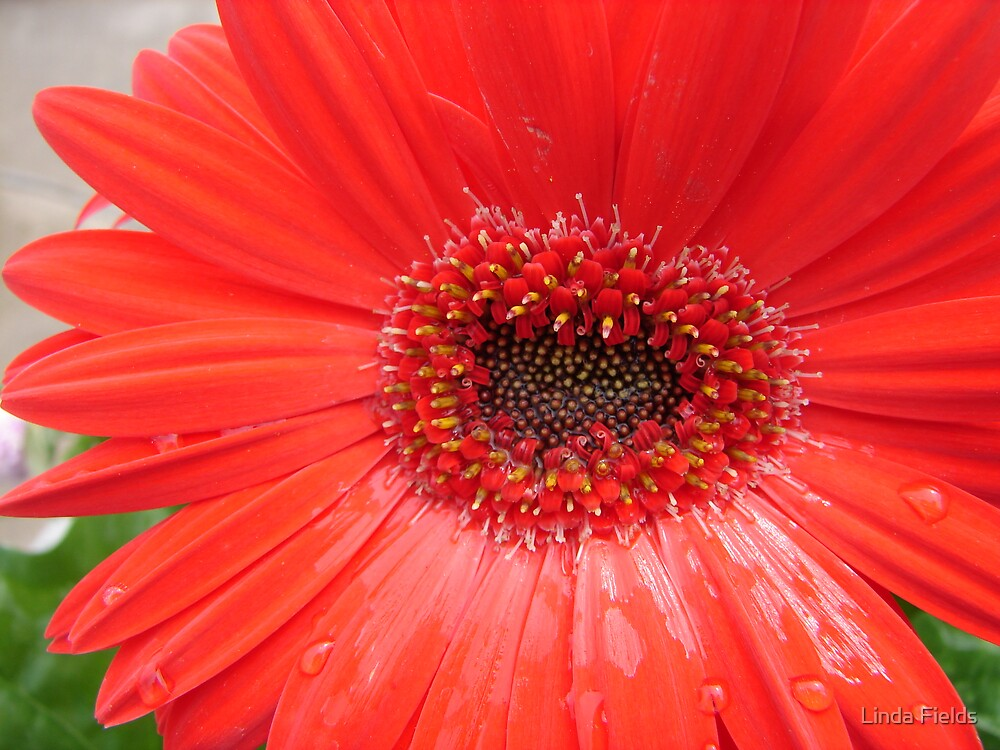 Red Gerbera Daisy by Linda Fields