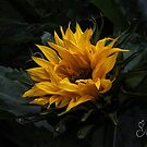 Sunflower  by Margaret Metcalfe