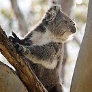 Koala Bear, Victoria, Australia by LisaRoberts