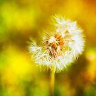 Dandelion by Silvia Ganora