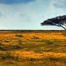 Lone Acacia Tree. Western Negev, Israel by Eyal Nahmias