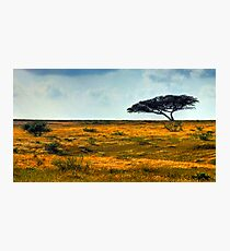Lone Acacia Tree. Western Negev, Israel Photographic Print