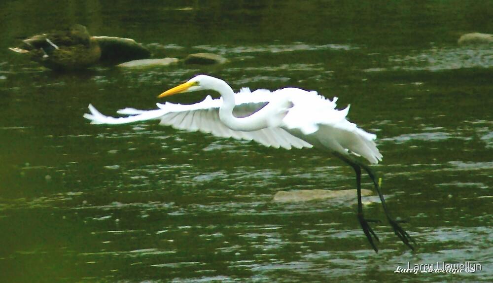 Heron in Flight by Larry Llewellyn