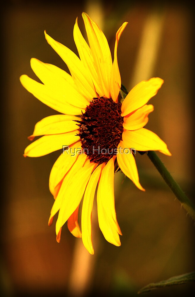 Sunflower Glow by Ryan Houston