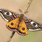 Emperor Moth  by Dean   Eades