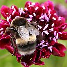 Bumble Bee by Amy Trebilco