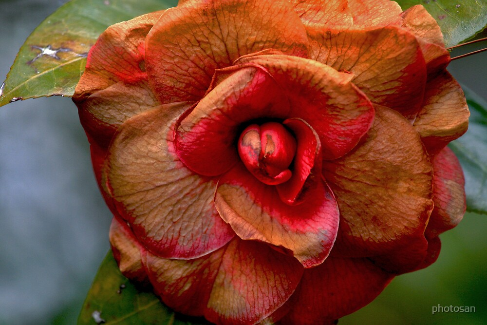 Colorful Camelia by photosan