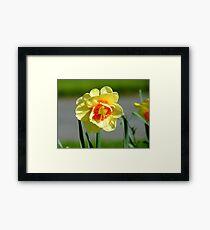 Tie A Yellow Ribbon Round The Old Oak Tree! - Daffodil - NZ Framed Print