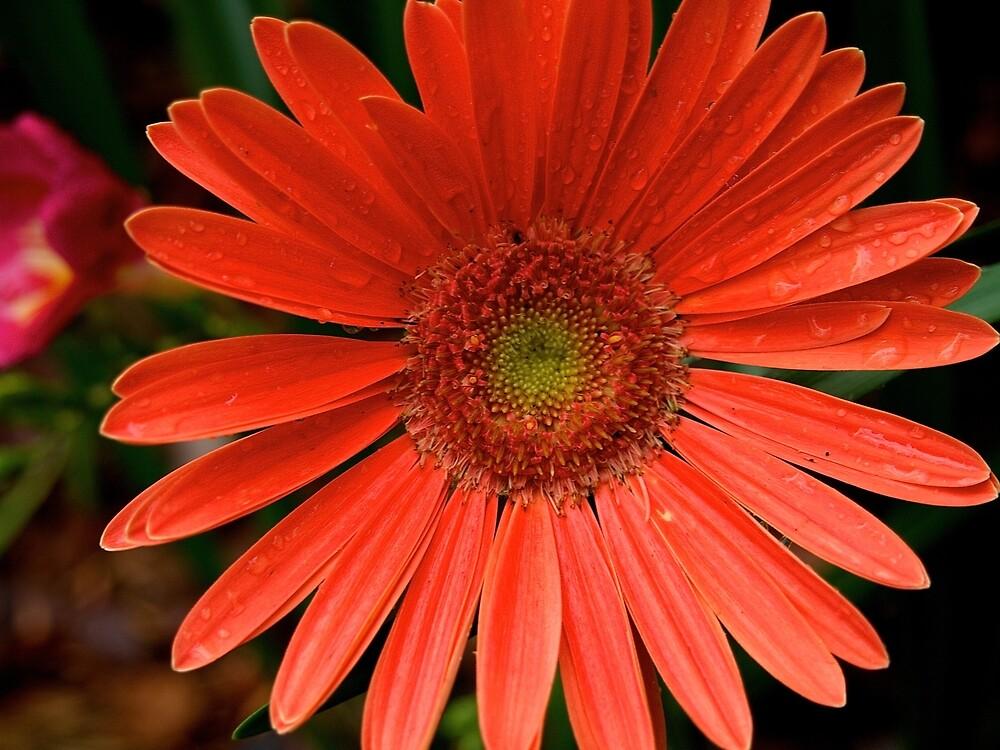 Gerbera Daisy by Douglas E.  Welch