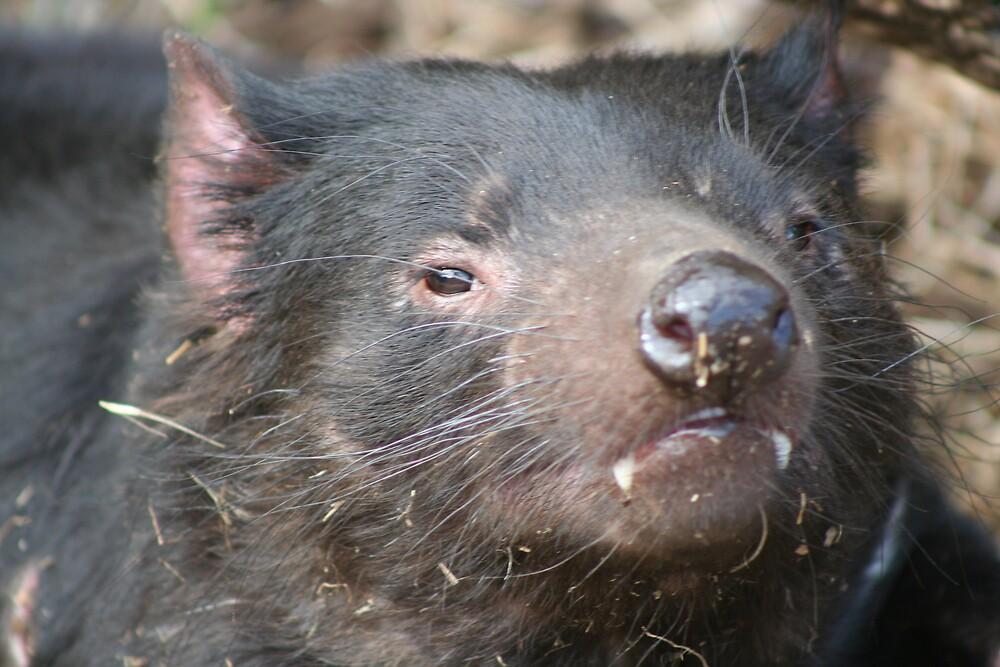 Tasmanian Devil by Kim Langmaid