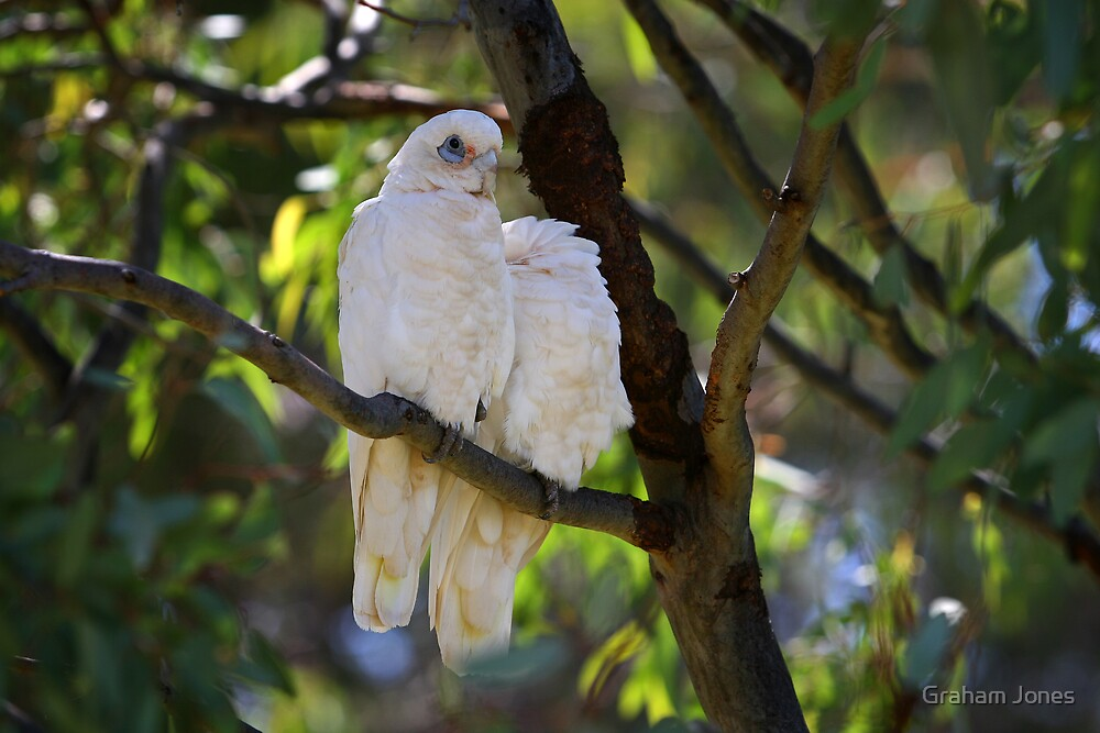 Corella's Rest by Graham Jones