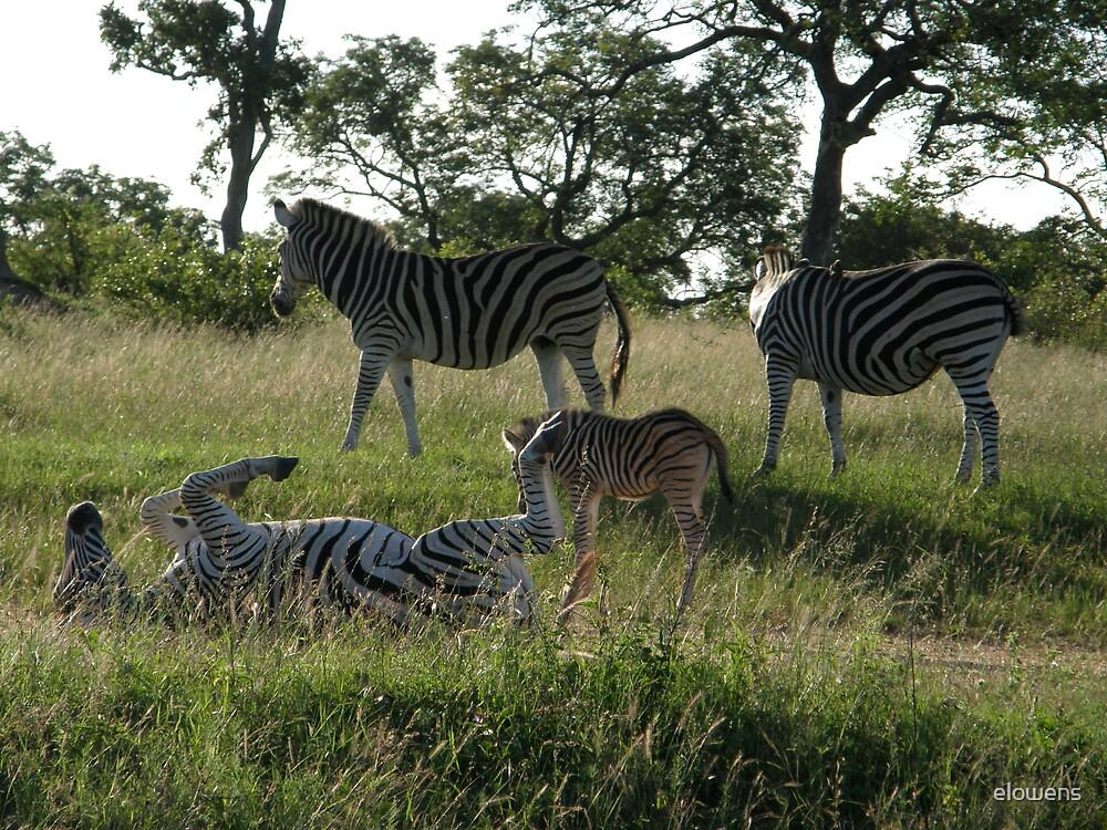 Zebras in Africa by elowens