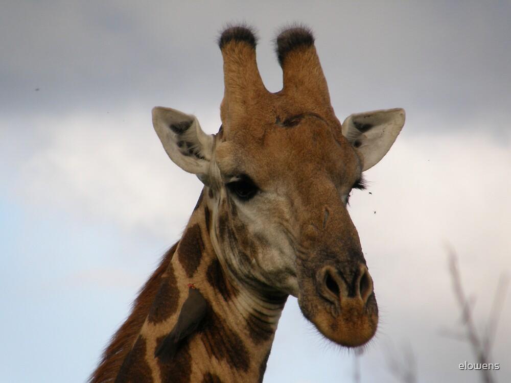 Giraffe in Africa by elowens