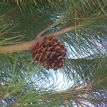 A Lonely Pine Cone by Auzriell
