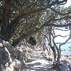 Pohutukawa lined walkway by lizdomett