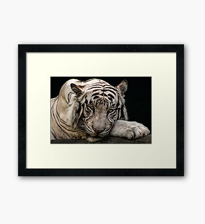 Weißer Tiger Gerahmtes Wandbild