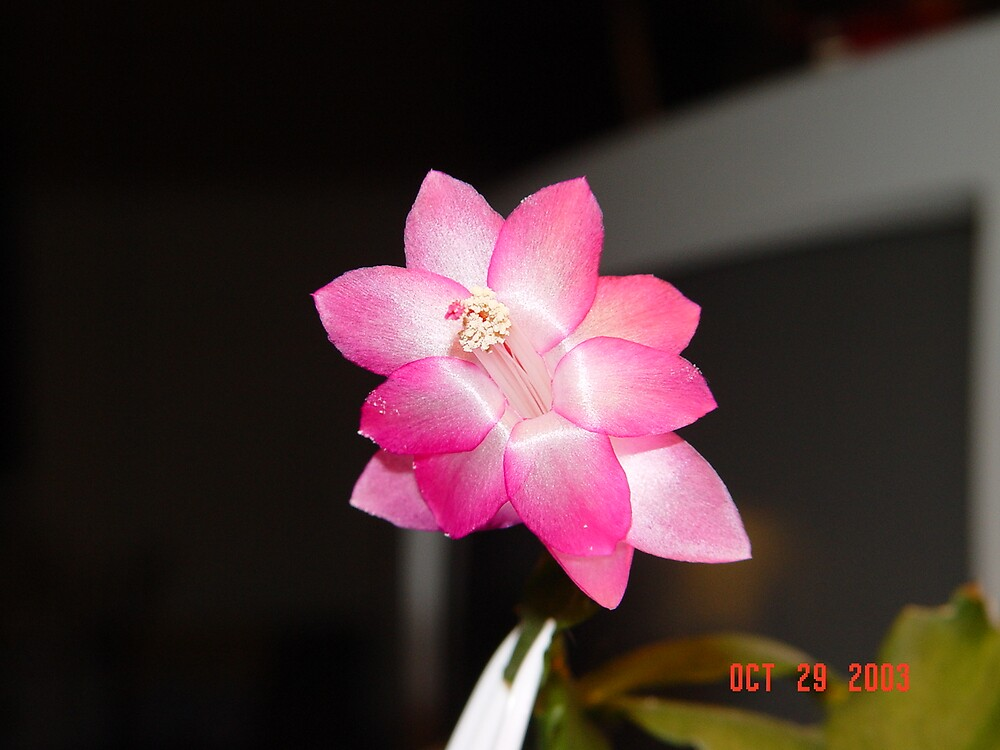 Pink Wonder by marreah
