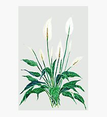 peace lily Photographic Print