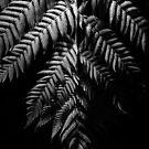 Tree Fern Frond by Darren Edwards