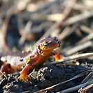 California Newts 4 by Chris Clarke