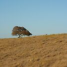 Lone oak by Chris Clarke