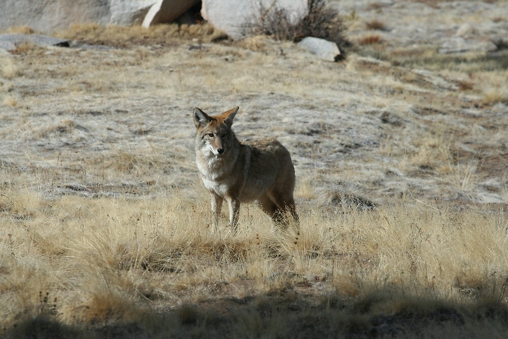 Coyote 1 by Chris Clarke
