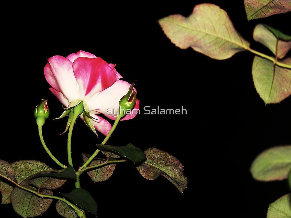 Rose by ayham Salameh