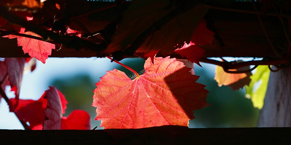Grape Leaves In Autumn by David Jamrozik