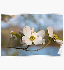 Dogwood Tree Bloom Poster