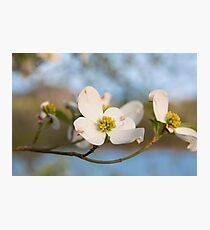 Dogwood Tree Bloom Photographic Print