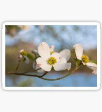 Dogwood Tree Bloom Sticker